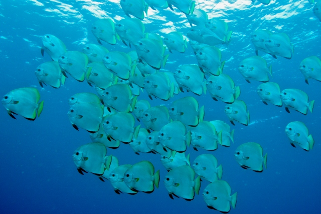 batfish-school-louise-murray-26-640x427